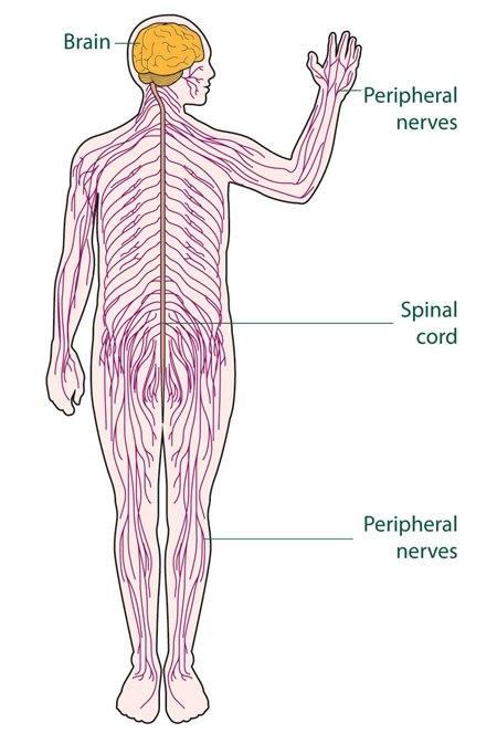 Neuropatía periférica - SNC y SNP